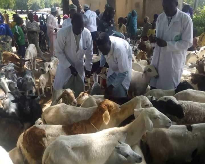 12 journée de vaccination des petits ruminants dans le département du Mayo Kani